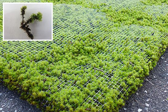 新潟の屋上緑化なら皆建のモスマット、スナゴケ